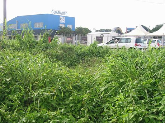 La mangrove menacée par le développement de Jarry